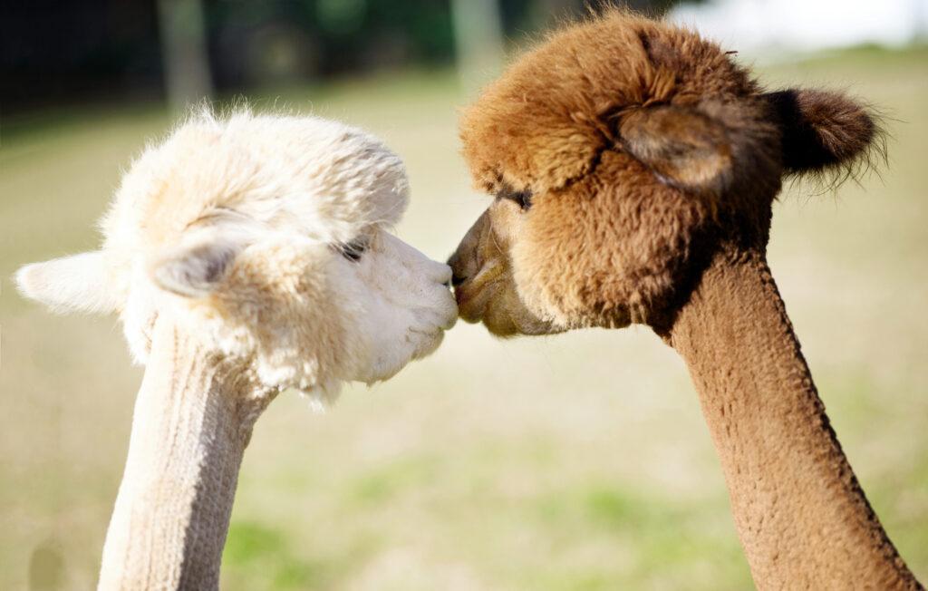 Alpacas kissing in the field